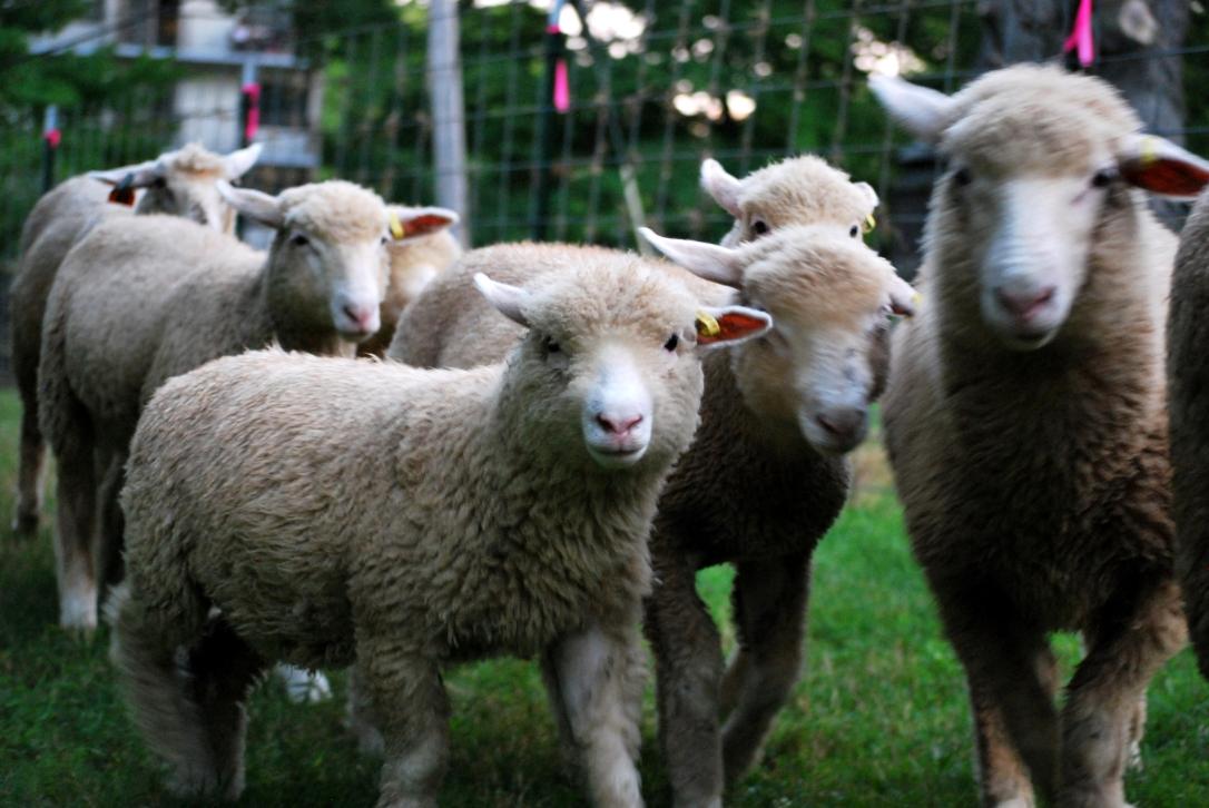 Sheep 7.jpg