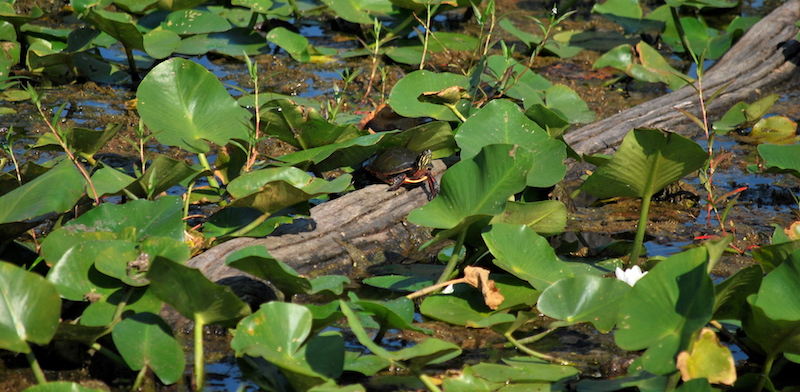 turtle at Beaver Marsh, off the Towpath Trail